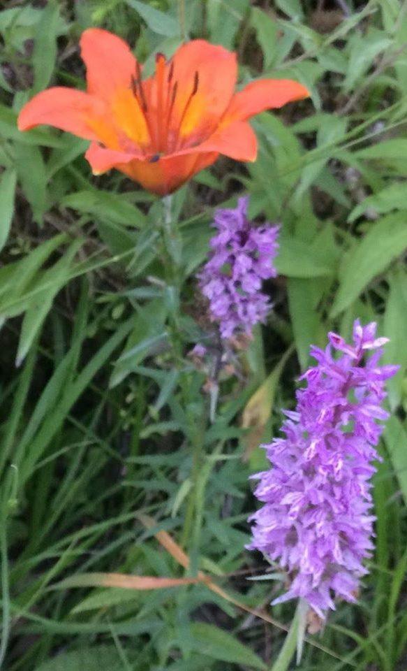 brstična lilija in Fuchsova kukovica