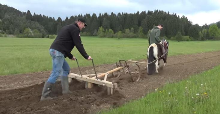 sajenje krompirja s konjem